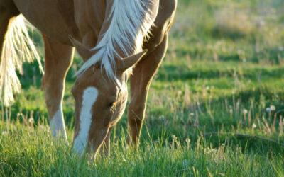 No.1 Food Supplement for Horses 2021 | Best Effective Products | Haarlem Oil for Horses
